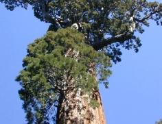 Sequoia at Grant Grove 1