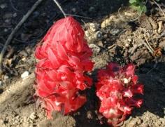 Red Juicy Flower