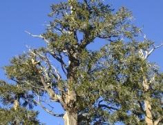 128 Bristlecone Pine Forest
