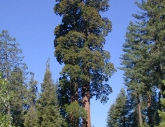 Sequoia at Grant Grove 4