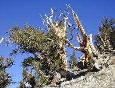 130 Bristlecone Pine Forest