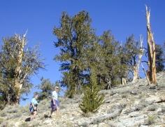 129 Bristlecone Pine Forest